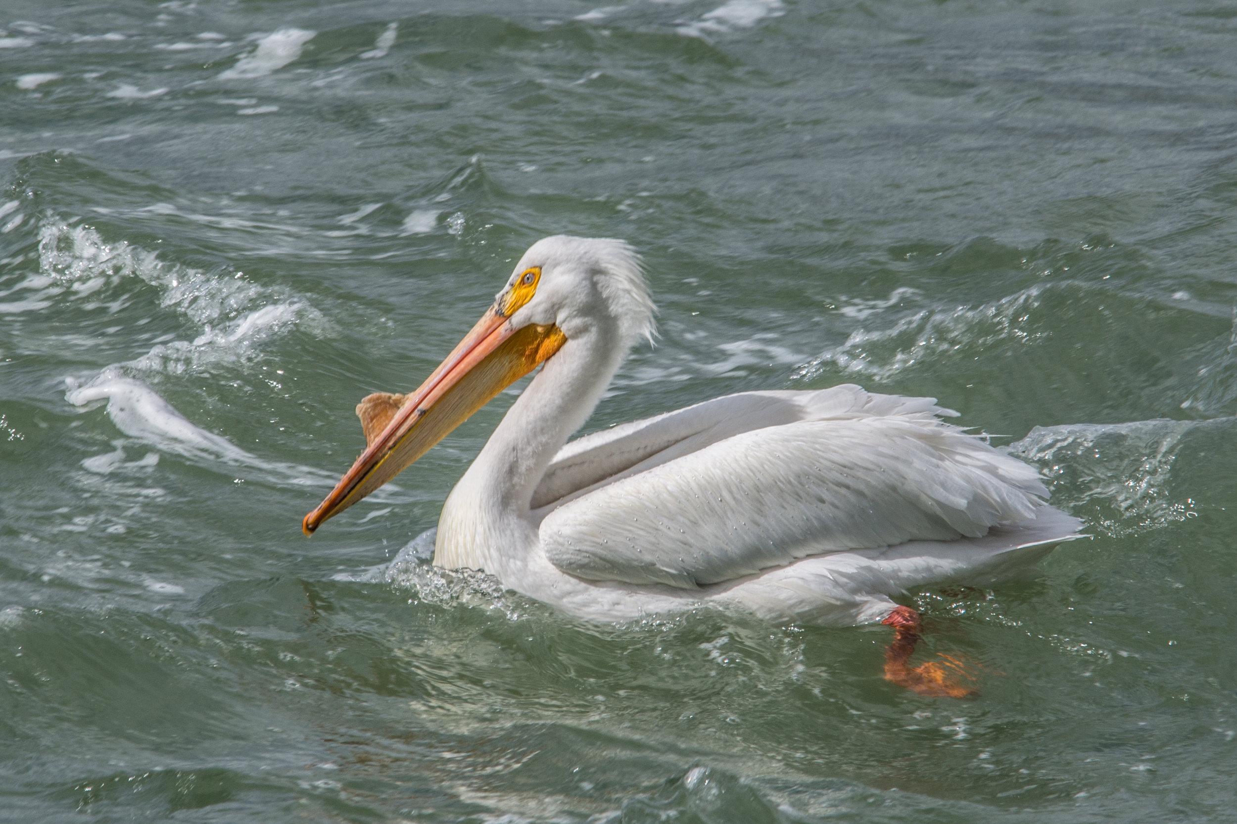 White Pelican in Grand Teton NP