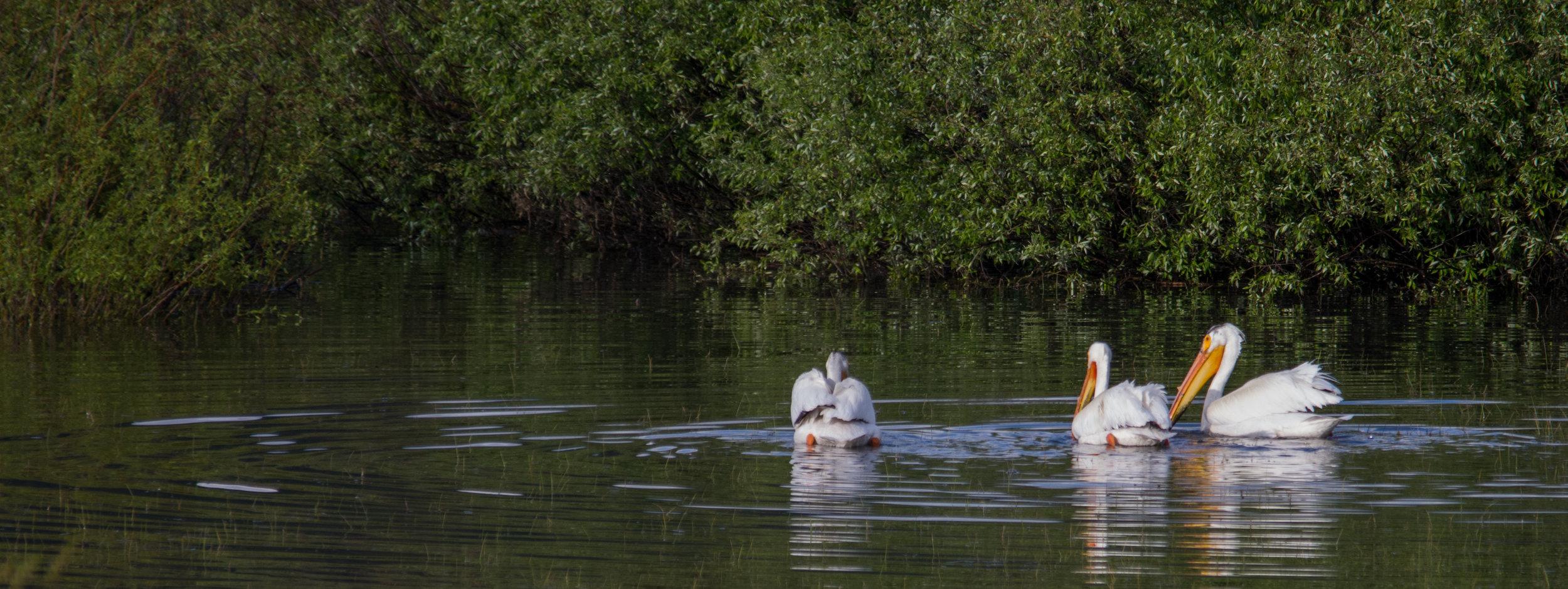 White Pelicans in Grand Teton NP