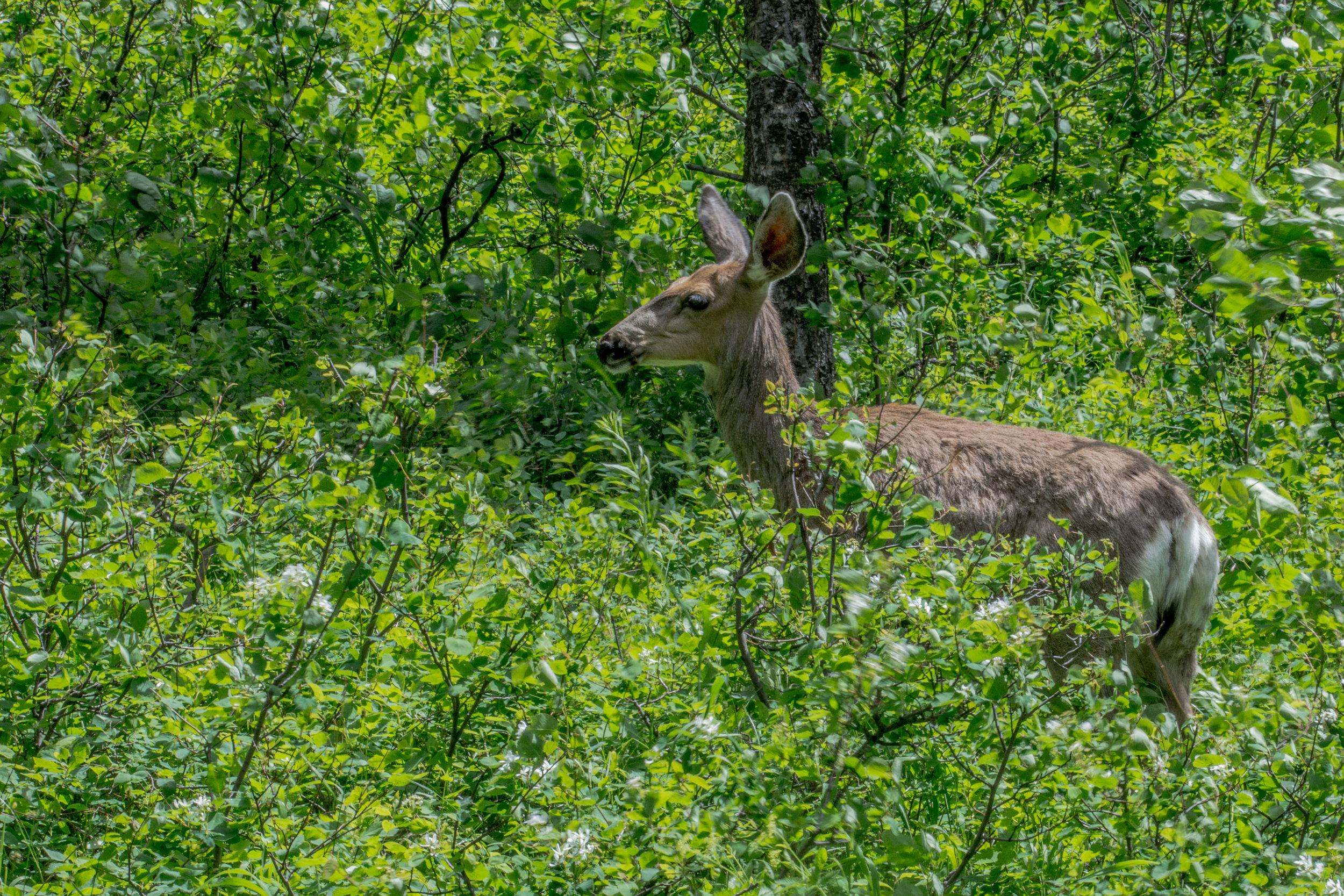 Deer in Grand Teton NP