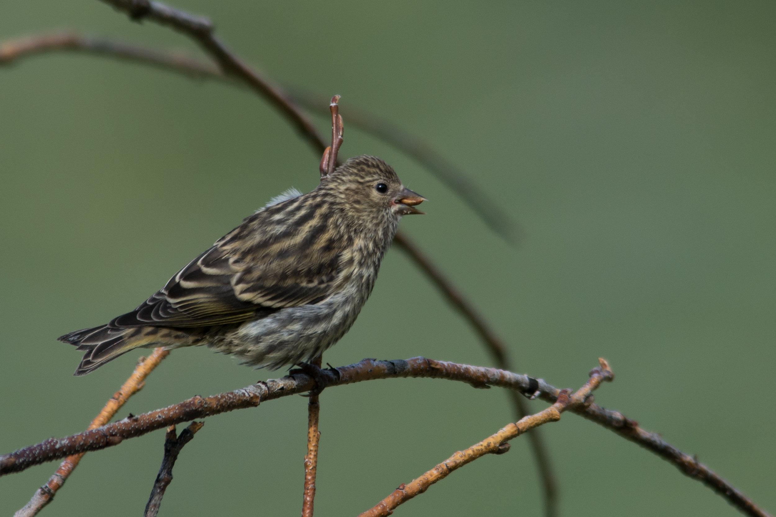 Birdie 01.jpg