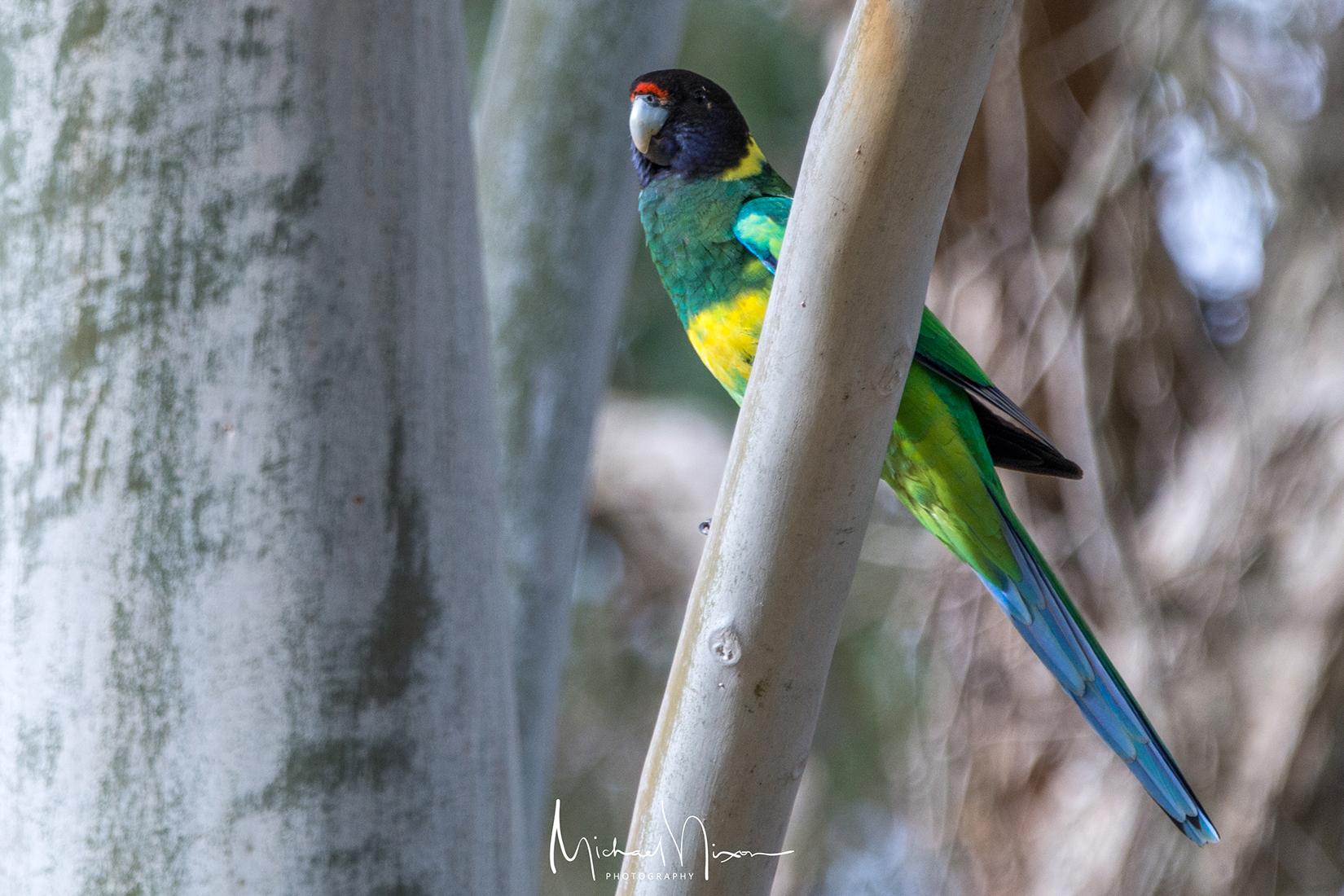 Australian Ringneck ( 28 Parrot )