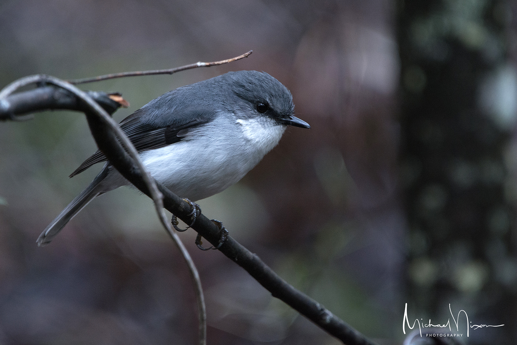 White-chested Robin