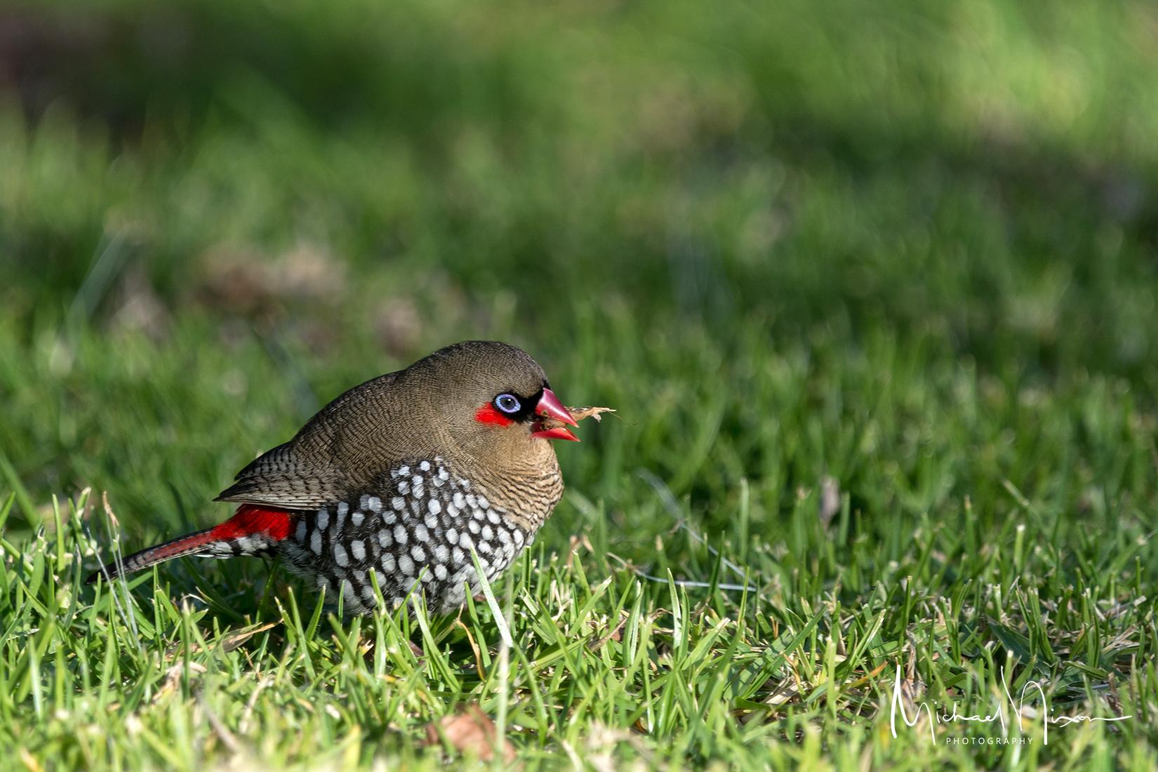 Red-eared Finch