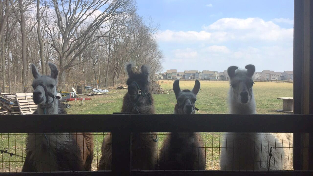 Our four llamas: Rowdy, CJ, Gabbie, and Blush.