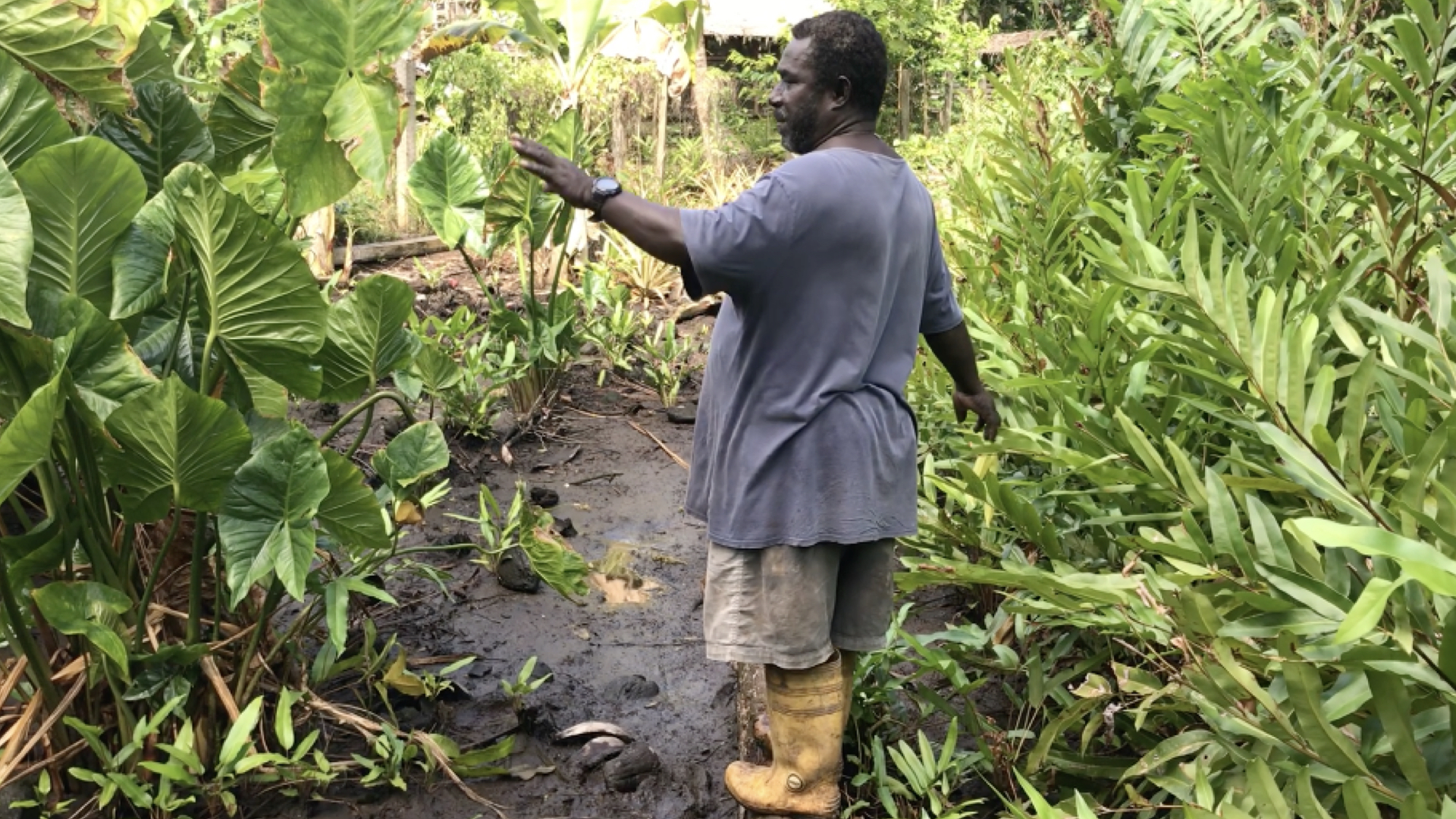 To find enough space for his food production, Jimmy has moved into the swamps on his island to raise chickens and ducks for extra income and their nitrogen-rich manure.