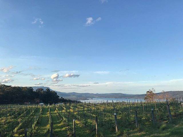 Playing in the vineyard with Spud while Brett was at the @hobarttwilightmarket. Nice to be still and at home. Friday 19 October 2019, 6:42pm. . . . . . . #ticklebackridge #ticklebackridgevineyard #vineyardlife #northwestbay #kunanyi #pinotnoir #sauvignonblanc #dolcetto #boutiquevineyard #northfacing #coolclimatewines #tasmanianwine #tasmania #channelregion #channelregionwines