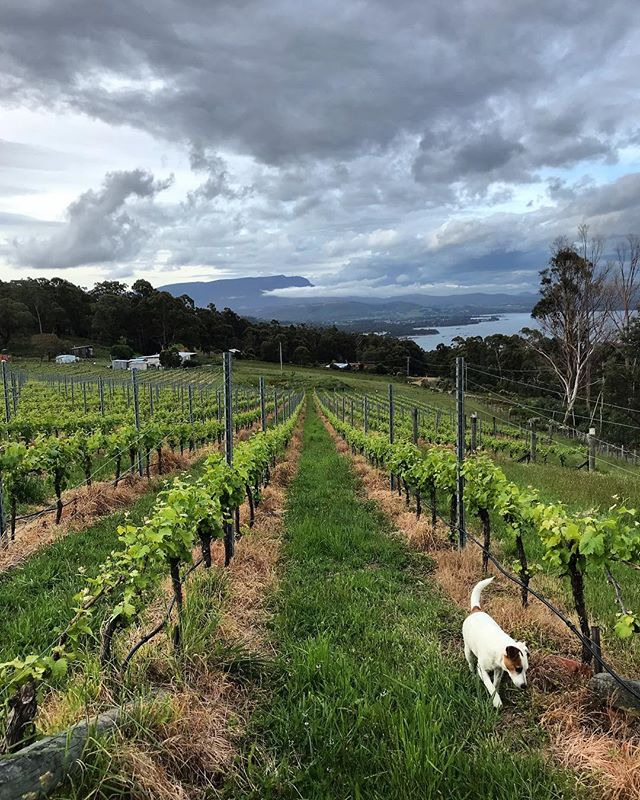 Saturday 10 November 2018, 6.35pm. . . . . . #ticklebackridge #ticklebackridgevineyard #ticklebackridgeestate #northfacing #tasmania #sauvignonblanc #vineyardlife #jackrussellterrier