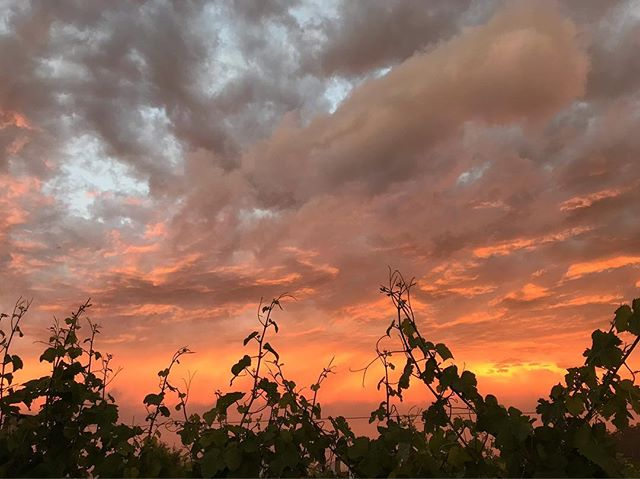 Friday 4 January 2019, 8.56pm. . . . . . . #nofilter #ticklebackridgevineyard #ticklebackridge #pinotnoir #sunset #tasmania #vines #iphone7