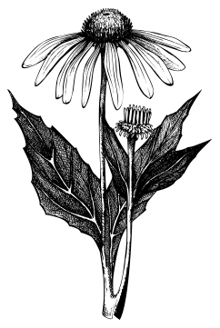 echinacea_page.png