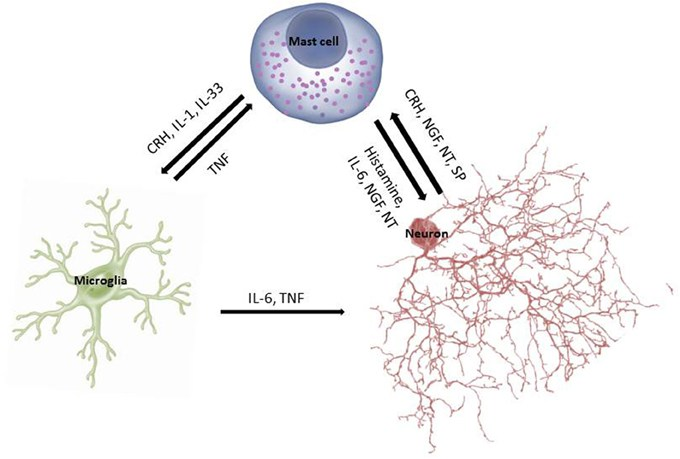 The Mast-Glial-Neuronal Axis: This shows how mast cells, glial cells and neurons communicate (through interleukins, TNF, histamine, etc.