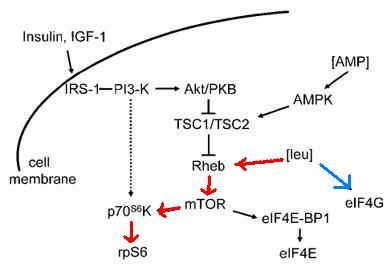 Enzymes involved are branched chain aminotransferase and 3-methyl-2-oxobutanoate dehydrogenase.