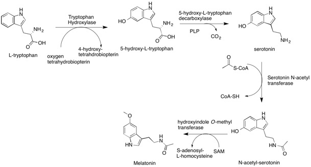 Overview of Melatonin Biosynthesis  R and  more in depth