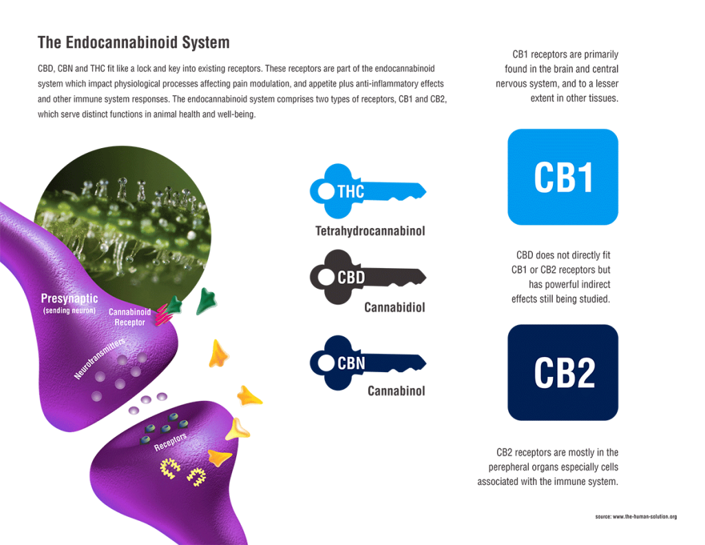 Endocannabinoid_Marijuana_Receptor_System-1024x791.png
