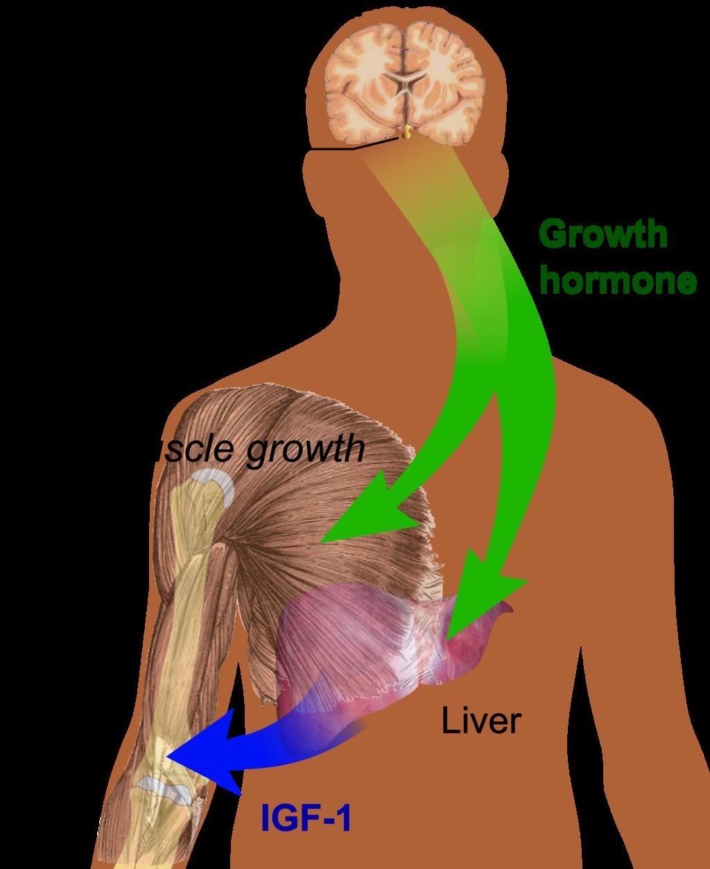 1024px-Endocrine_growth_regulation.png