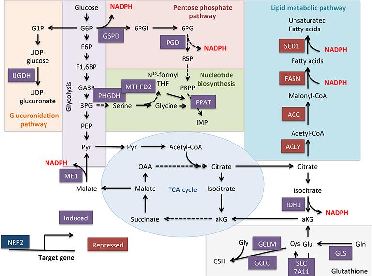 https://www.intechopen.com/books/a-master-regulator-of-oxidative-stress-the-transcription-factor-nrf2/nrf2-rewires-cellular-metabolism-to-support-the-antioxidant-response