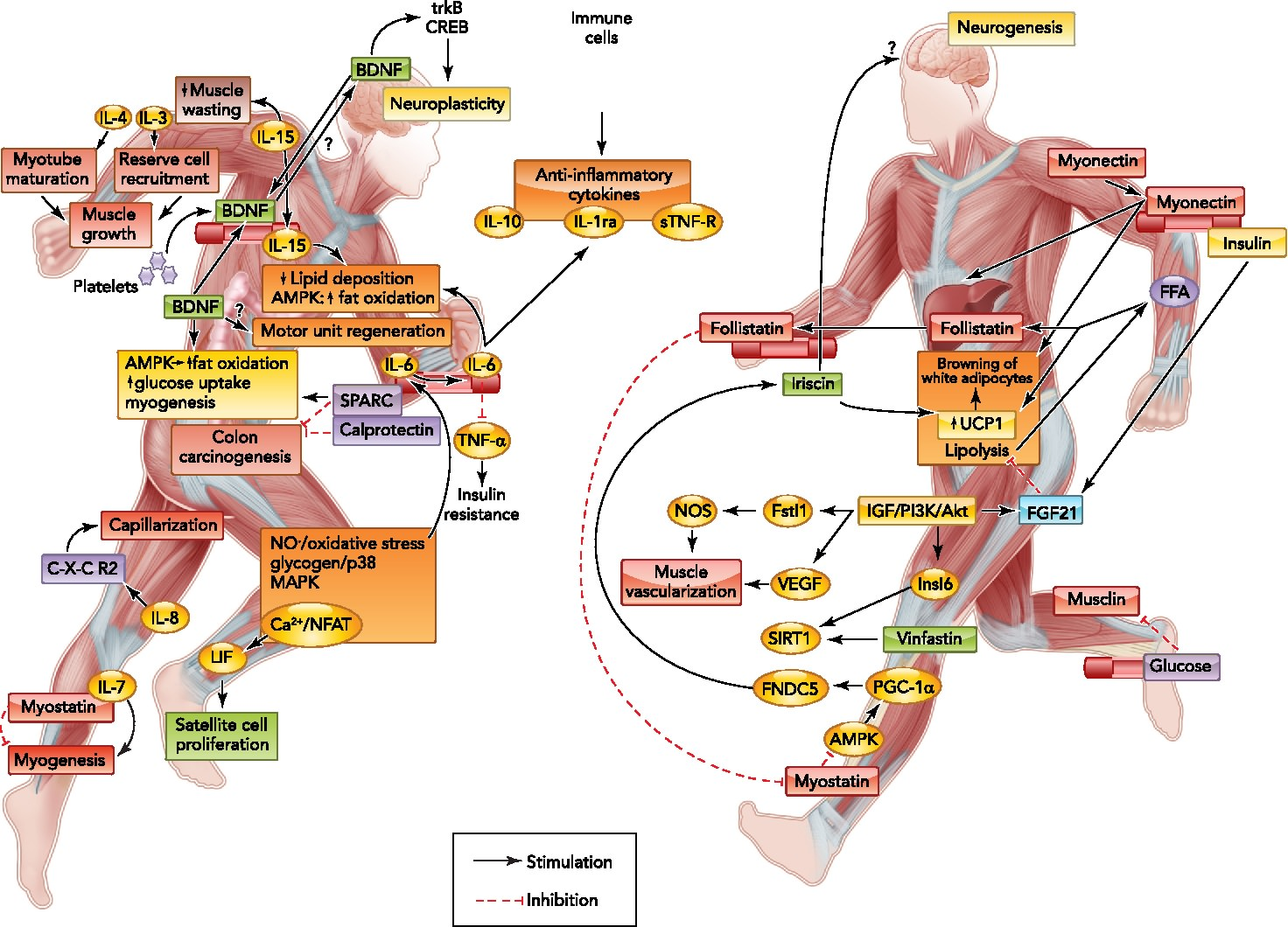 http://www.physiology.org/doi/10.1152/physiol.00019.2013