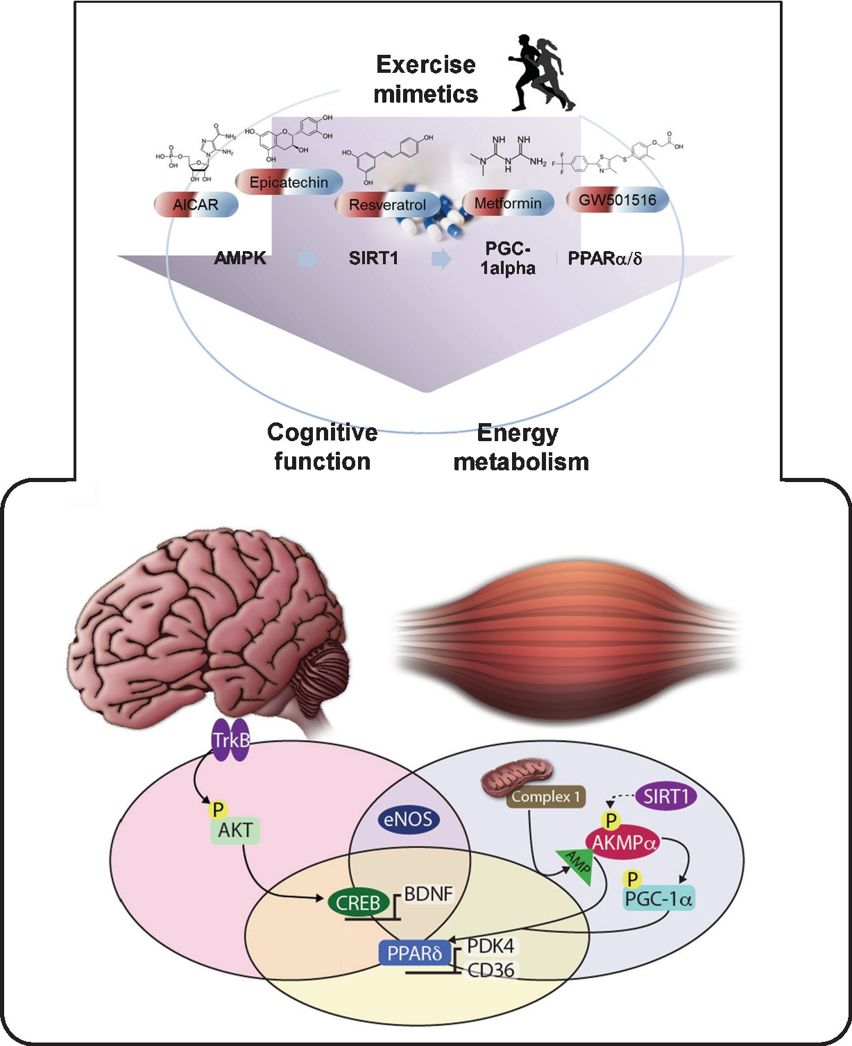 https://content.iospress.com/articles/brain-plasticity/bpl160043