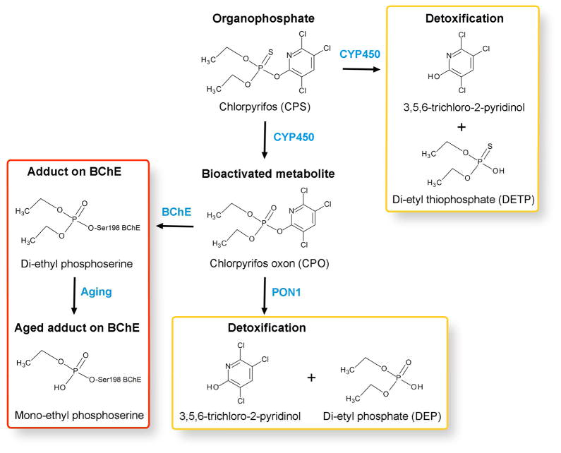 """""""Upon entering the human body, the parent OP organophosphorothioates are either detoxified by specific cytochrome P450s (and eliminated in the urine) or are converted to their highly toxic oxon forms. The highly toxic oxons interact with serine active-site enzymes (e.g. AChE and BChE) creating a covalent bond with their active site serine that ages to an irreversible inhibitor of the enzyme. The adducted protein is stable and will remain in circulation until degradation, which depends on the protein's half-life in circulation (11 days for plasma BChE and 33 days for red blood cell AChE). The oxons can also undergo spontaneous or enzymatic (i.e. PON1) hydrolysis resulting in the formation of DAP metabolites and an OP-specific leaving group. These metabolites do not show inhibitory properties and are eliminated in the urine."""" https://www.ncbi.nlm.nih.gov/pmc/articles/PMC4916371/"""