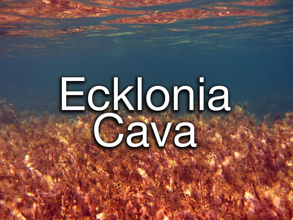 ecklonia-cava.jpg
