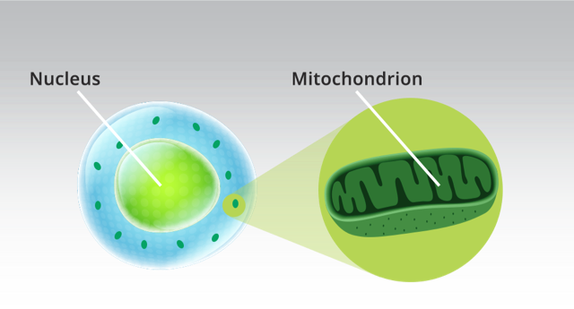 ...photons are absorbed in the mitochondria and cell membranes...
