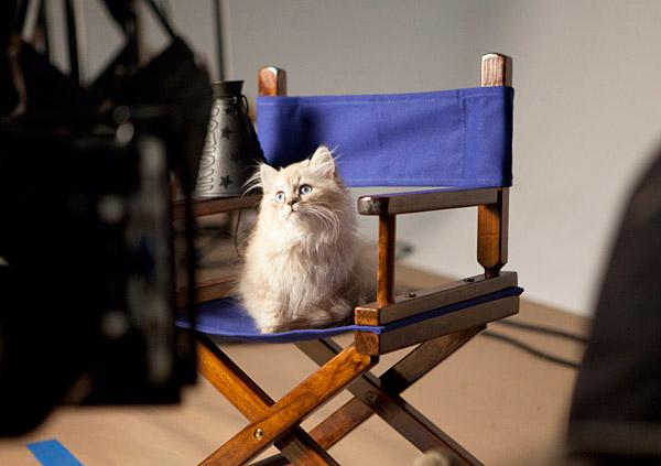 Dollface-Persian-Kitten_Directors-Chair.jpg
