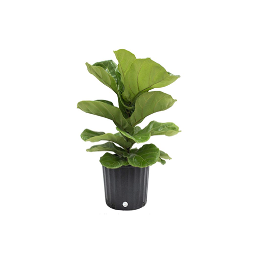 Fiddle Fig Tree from Amazon