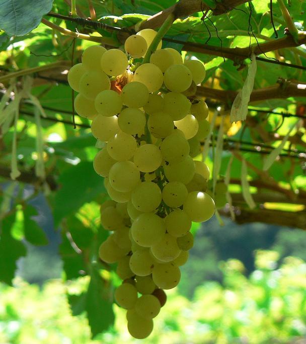 Chenin_blanc_grapes.jpg