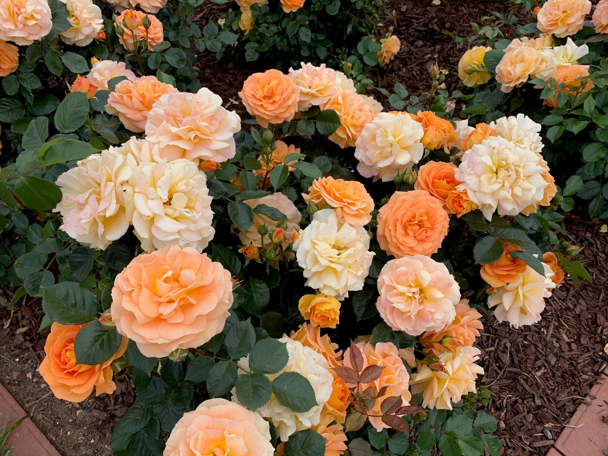 Victorian_State_Rose_Garden_Yellow_and_Orange_Roses.jpg