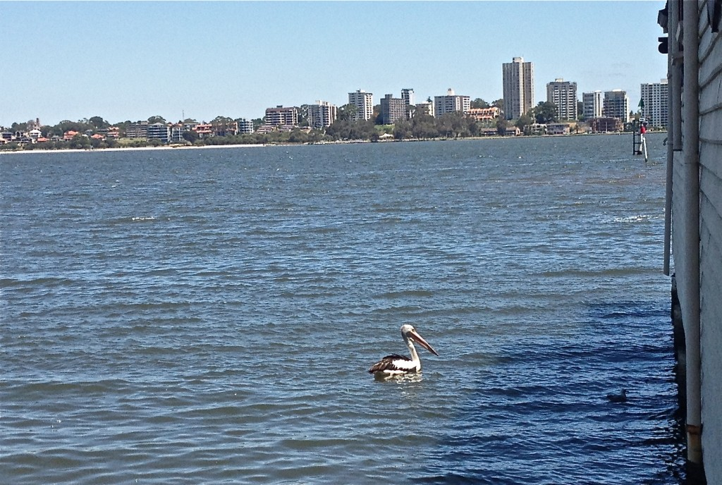 Prehistoric sized pelican. For scale, that little black spot to the right is a seagull.