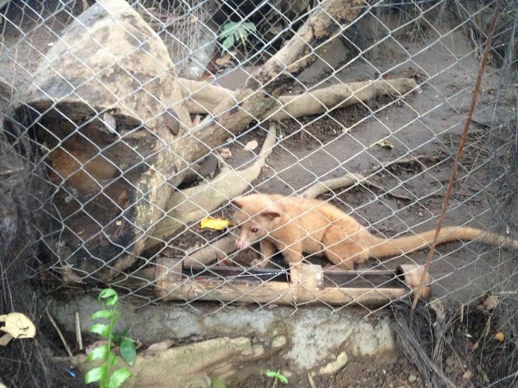 Luwak, aka Civet Cat in Ubud, Bali.