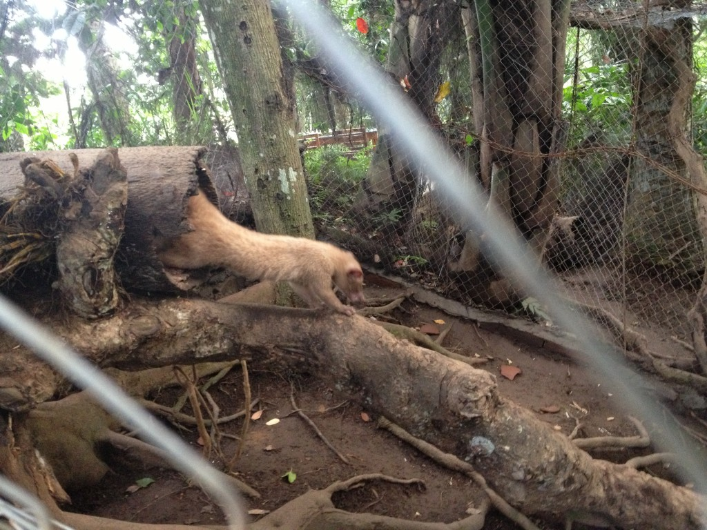 These Luwaks are on display for agrotourists, otherwise all of the farm's participating Luwaks live in the wild.