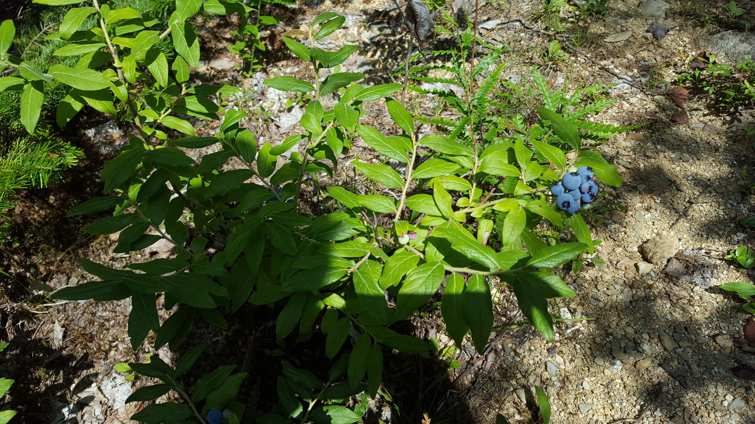 fat, juicy blueberries along the trail