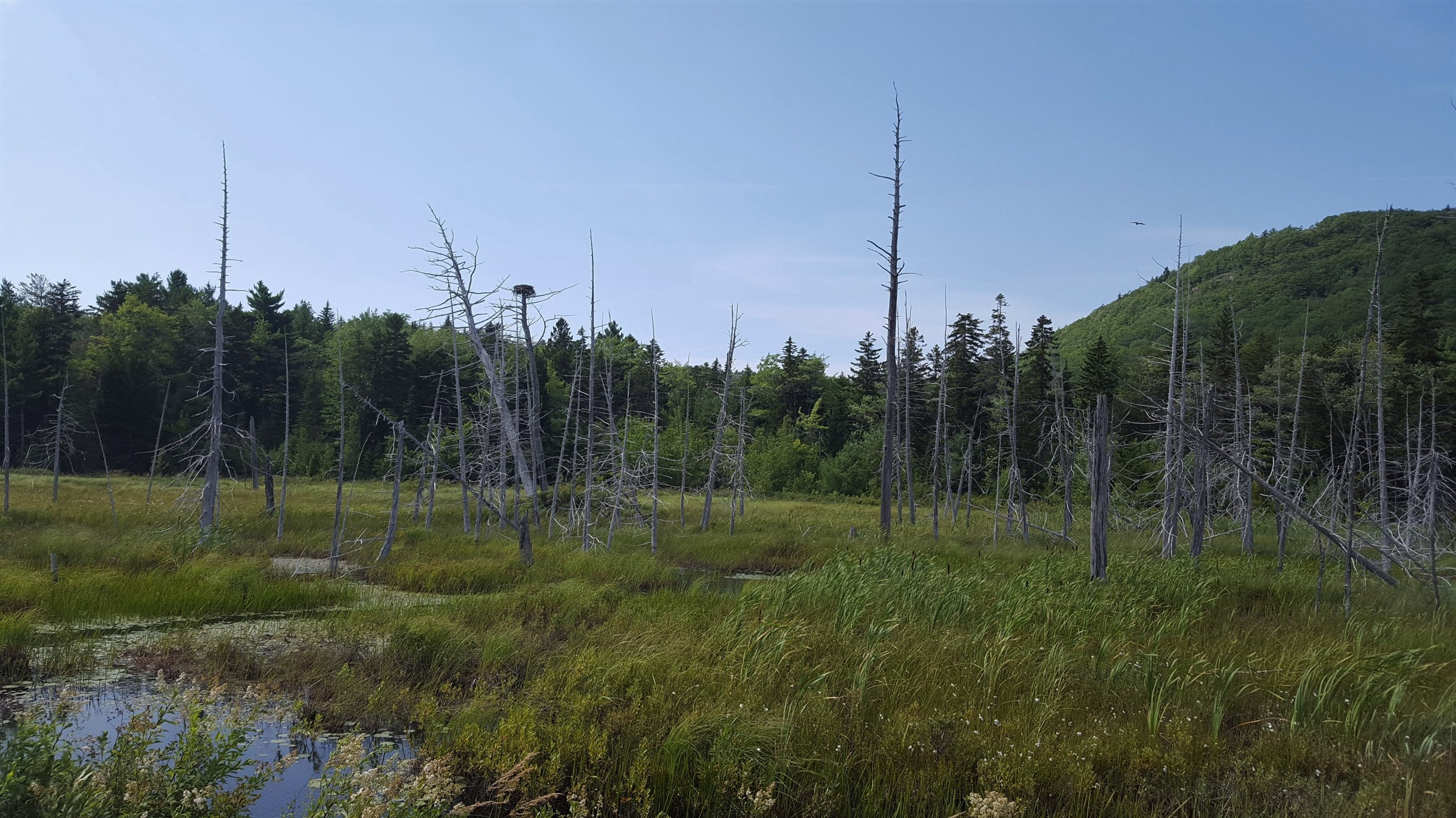 The osprey nest. Notice the osprey in the top right quadrant of the picture