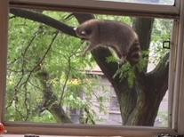 Best raccoon shot .jpeg