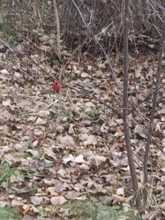 Cardinal shot Nov. 30'18.JPG