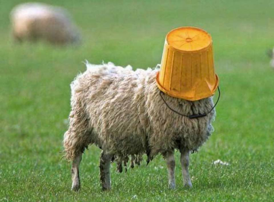 Sheep with pail on head.jpg