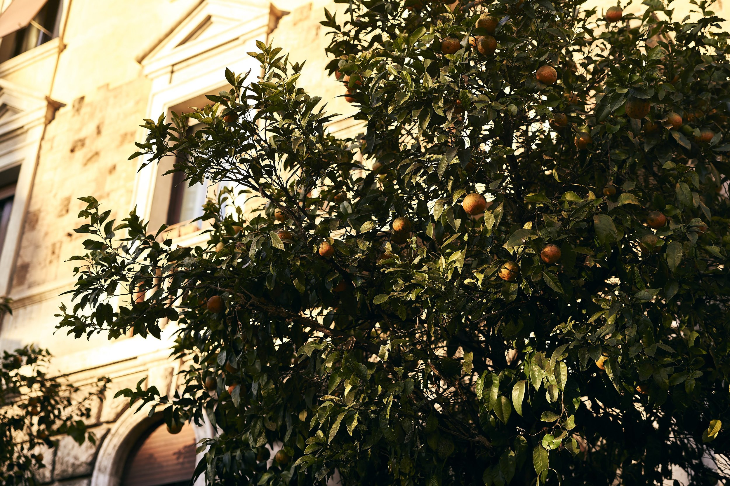 Orange trees in the city