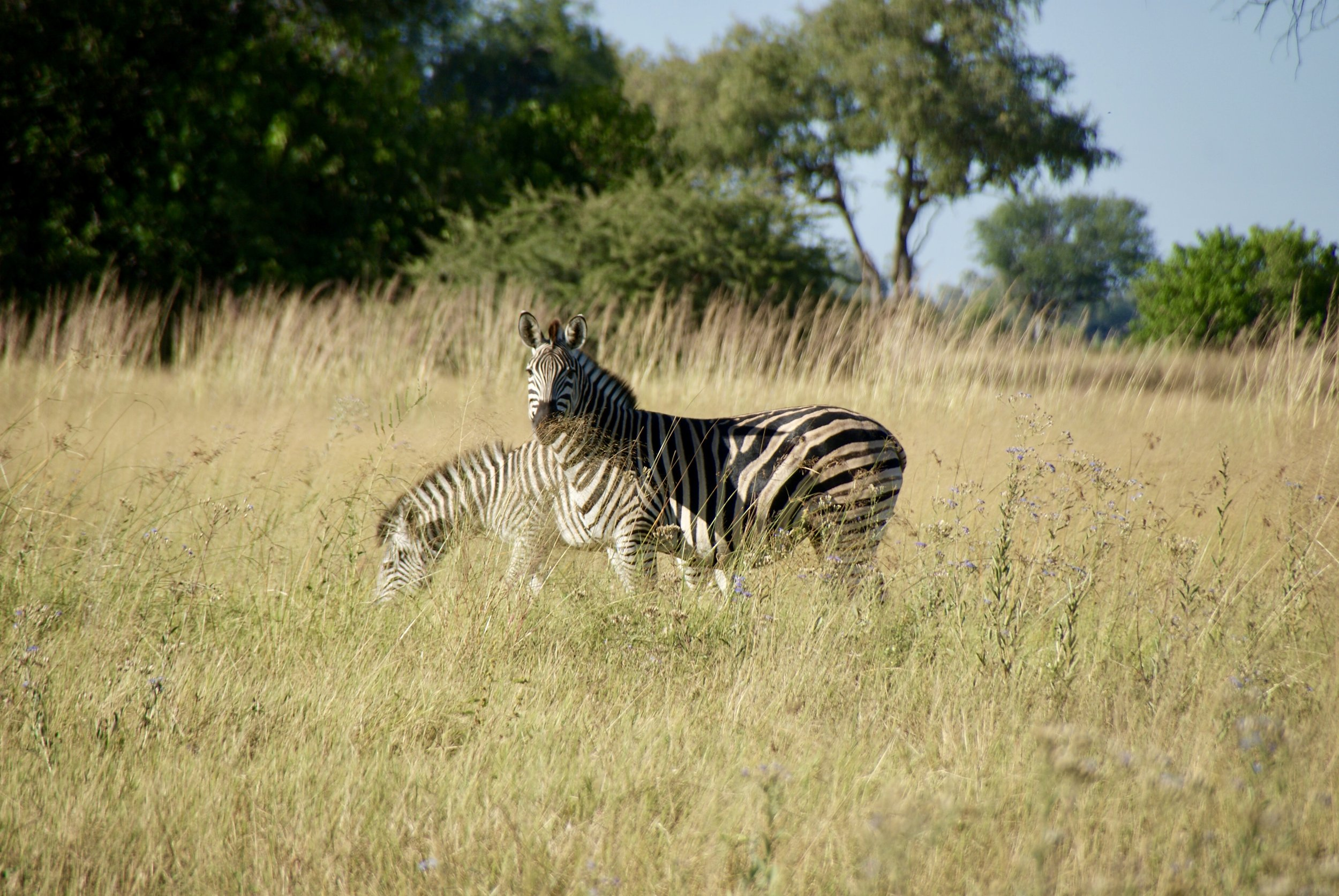 Tracking Zebra During a Safari Walk, Chief's Island, Okavango Delta