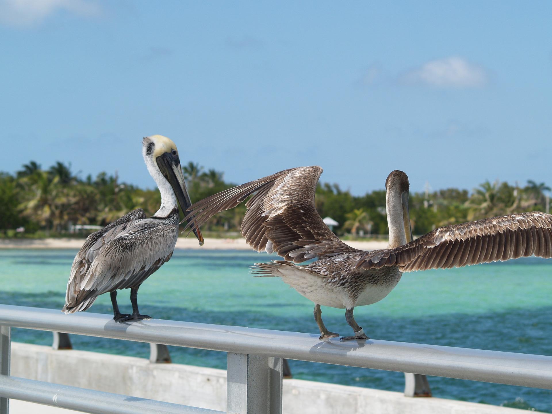 brown-pelicans-1231785_1920.jpg