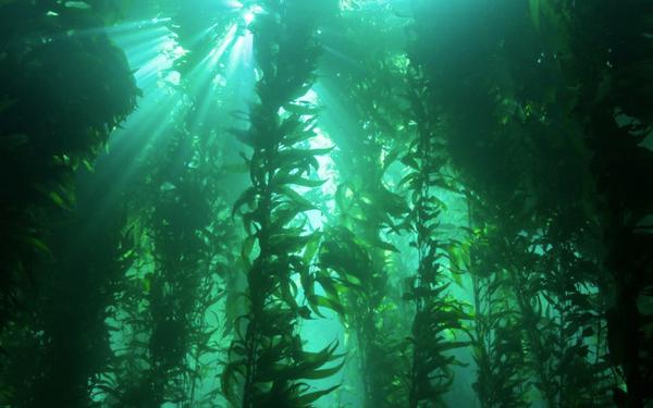 art-misc-kelp-forest.png
