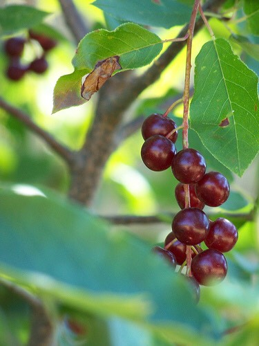 Wild cherry bark is a traditional lung remedy