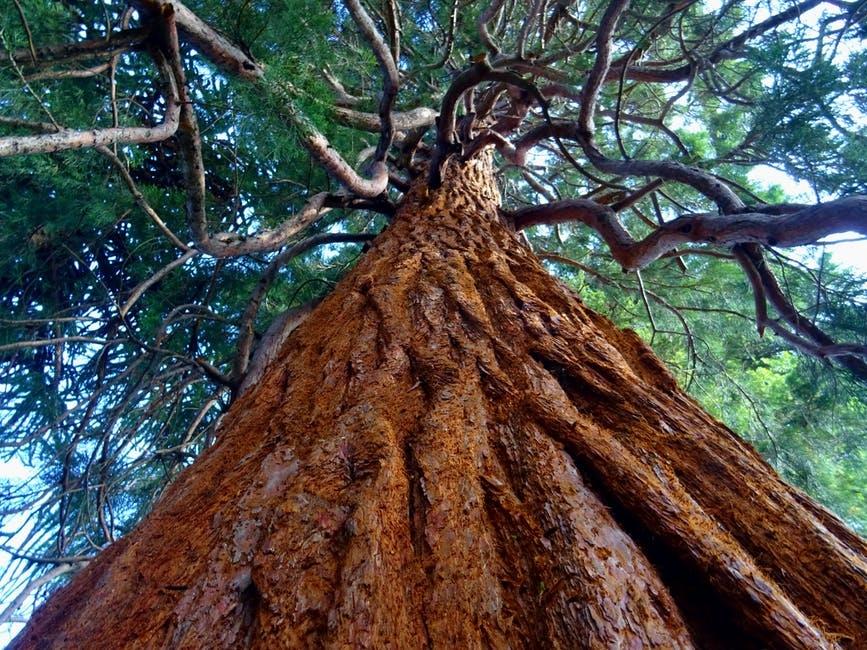 tree redwood.jpeg