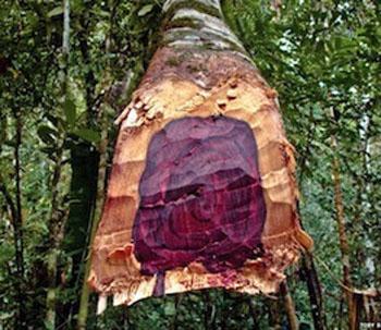rosewood-tree.jpg