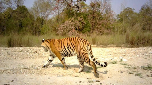 Nepal was the first Sth East Asian country to eliminate trachoma.  Now they have doubled their tiger population.  Let's take a leaf out of their book and come together to eliminate Trachoma in Australia.  #inspirational #socialchange #thirstworldproblems #tiger #beauty