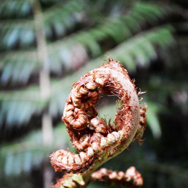 Naturally, a silver fern #NZFieldwork