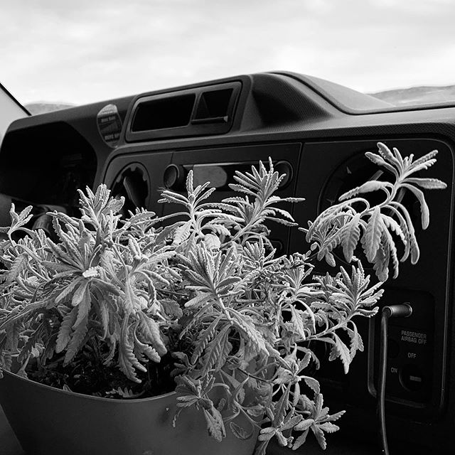 Travel Companion: a three year old lavender plant strategically placed in front of the air vents. Can't help it called riding shotgun ages ago.  #travelling #crosscountry #lavender #thisplantwill_pretendtodie_ifitwantstobe_somewhereelse #travelbuddy #oregonbound