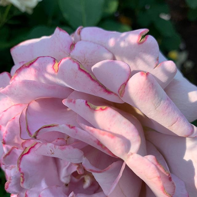 Roses and walkways. Daylight filters through the treetops into gardens untamed and roses in midbloom. City sidewalks and petals. #rosecity #stoptosmelltheroses #daylight #sidewalksedge #alongtheway #walkingworking #studiosketch