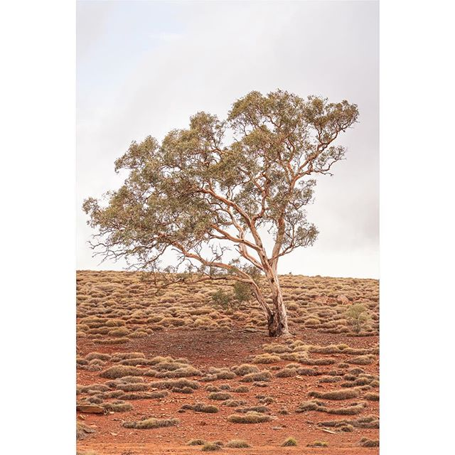 Tree, Flinders Ranges. • • • • • #minimal #minimalism #minimalist #minimalmood #minimalove #simplicity #minimal_perfection #minimalistic #somewheremagazine #artclassified #ifyouleave #landscapephotography #landscapeart #nature_photo