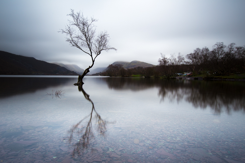 The lone tree of Llyn Padarn