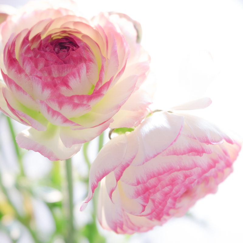 close up ranunculus.jpg